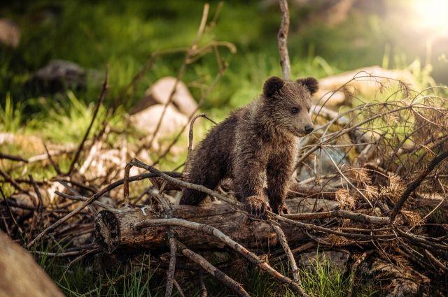 На Ямале на промысловой дороге прогуливались медведица и четыре медвежонка