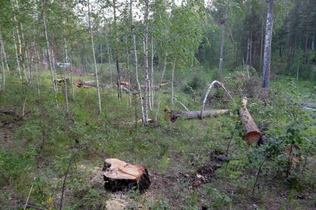 Красноярские общественники проверят парки и скверы, где вырубают деревья.
