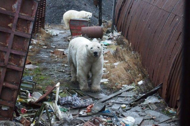 Этой зимой жители Новой Земли ощутили последствия потепления, когда в их посёлок в поисках еды пришло 52 белых медведя.