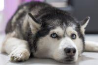 Хаски как правило добрые и общительные собаки