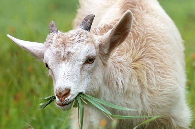 Чаще всего заболевает мелкий домашний скот.