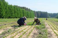 Саженцы выращивают в питомниках.