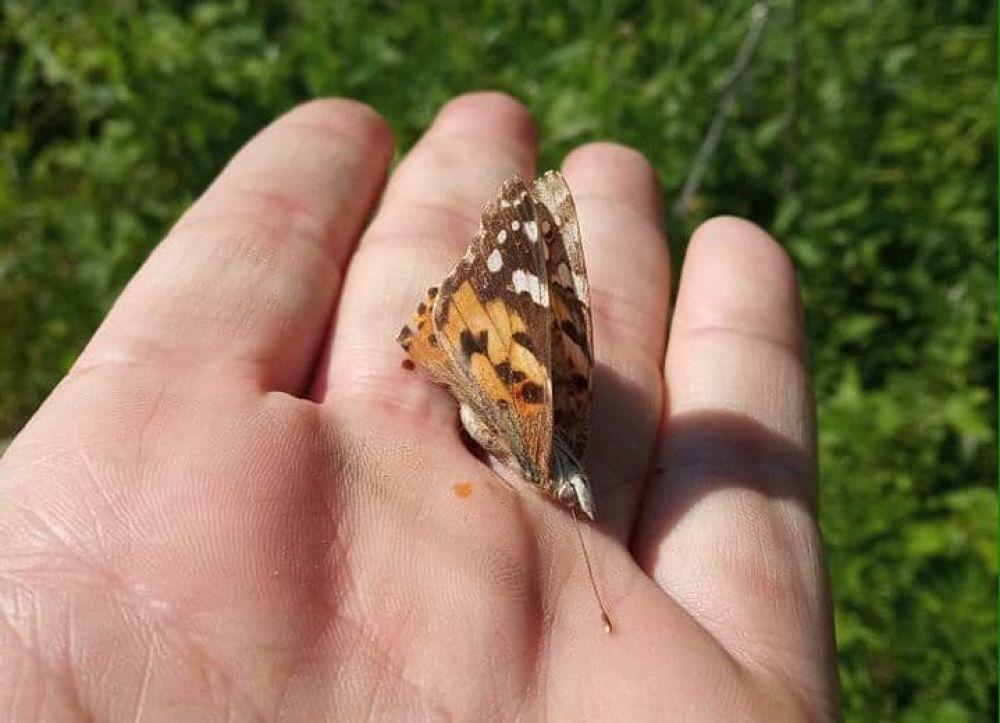 В Минприроды утверждают, что данные бабочки могут летать со скоростью до 50 километров в час и за один день преодолевать расстояние в 500 километров.