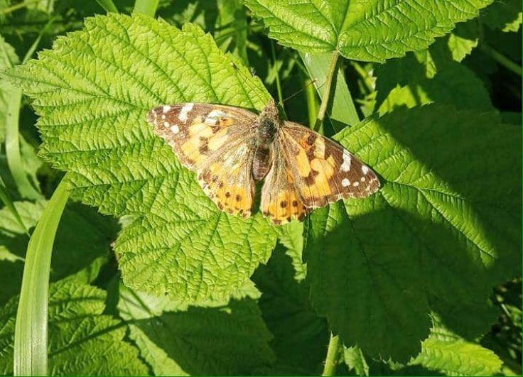 Киевляне и гости столицы делятся в соцсетях снимками и видео, на которых изображены десятки бабочек.