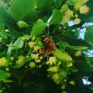 На латыни этот вид бабочек называется Vanessa cardui и относится к мигрирующим видам.