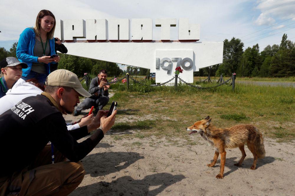 Туристы фотографируют лису на въезде в Припять.