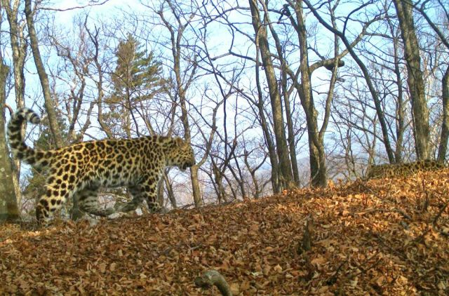 Один из детенышей леопардессы Борте