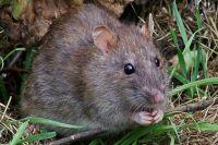 Тюменцы жалуются на полчища крыс в центре города