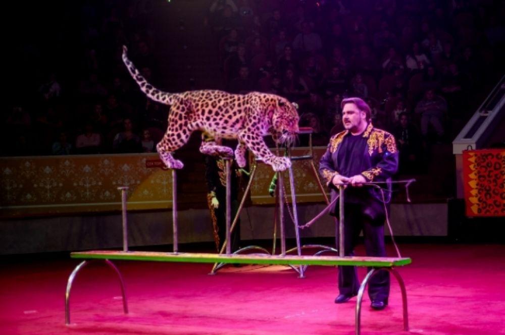 Зрителей заставило понервничать появление леопардов на цирковой арене