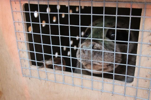 На Куршской косе в море выпустили двух серых тюленей из Калининградского зоопарка