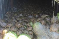 В Оренбургской области задержана огромная партия живых черепах.