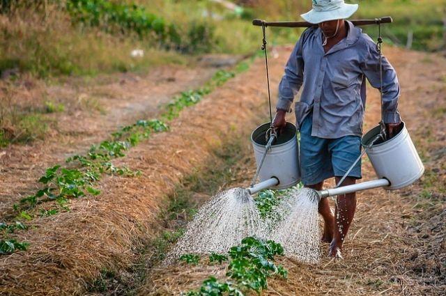 Будущий урожай нужно спасать не только от вредителей, но и от пекла.