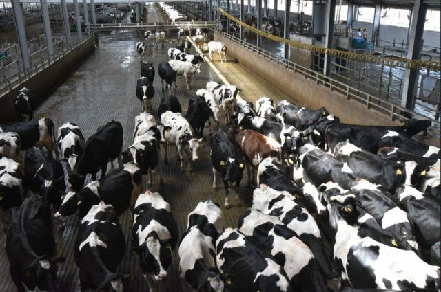 Для комплекса закупили породистых высокопроизводительных коров