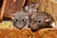 Крысы обживают места скопления мусора.
