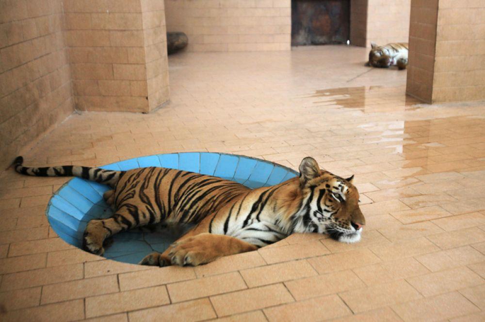 Тигр лежит в луже воды в зоопарке Лахора в жаркую погоду, Пакистан.