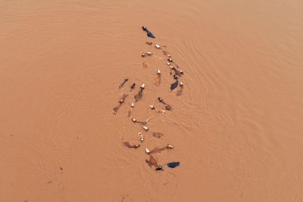 Стадо крупного рогатого скота после наводнения в Цзиань, Китай.