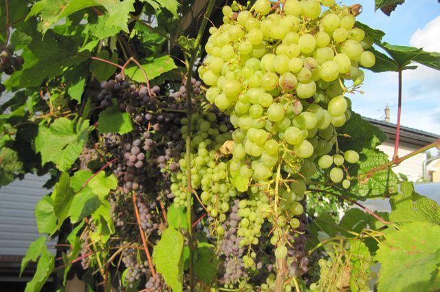 Москва клуб виноград стриптиз клубы томска