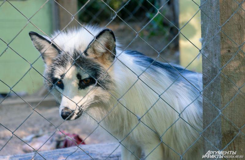 Белый лис оказался в центре после контактного зоопарка.