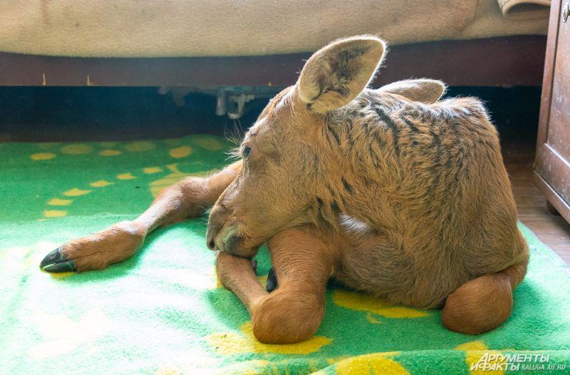 Обычно Майя спит возле кровати на одеялах, но иногда, пользуясь моментом, запрыгивает на кровать.