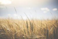 По оценкам специалистов, объемы зерна на предприятиях и элеваторах Новосибирской области оказались минимальными для внутреннего потребления региона.