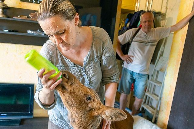 Лосёнка Майю приходится кормить шесть раз в сутки: четыре раза днём и два ночью