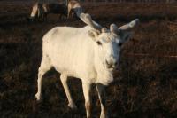 В Тазовском районе зафиксирован небольшой падеж оленей