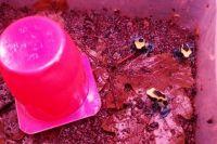 Лягушки-древолазы ядовиты и охотники Южной Америки использовали яд для смазывания дротиков.