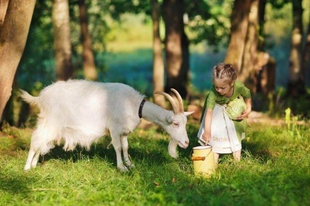 Супер-продукт не для всех. Кому полезно, а кому вредно пить козье молоко