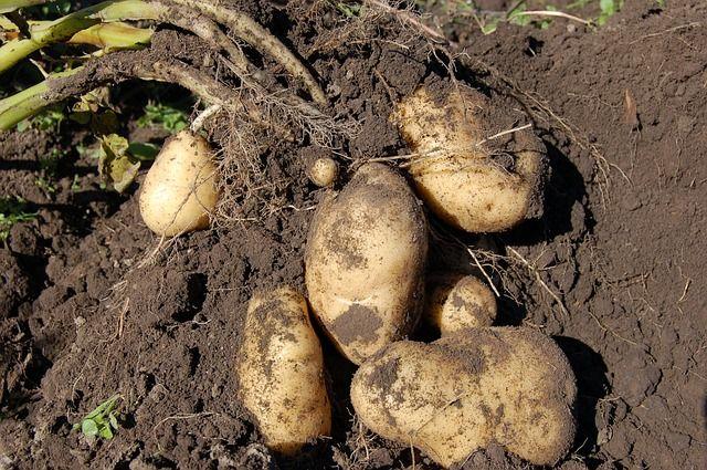 Картофель в России выращивает в основном население для личного потребления.