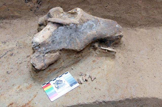 Подготовительный шурф принёс сенсационную находку - кость бизона.