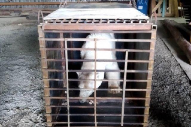 Медведицу, которая вышла к людям в районе Норильска, спасли