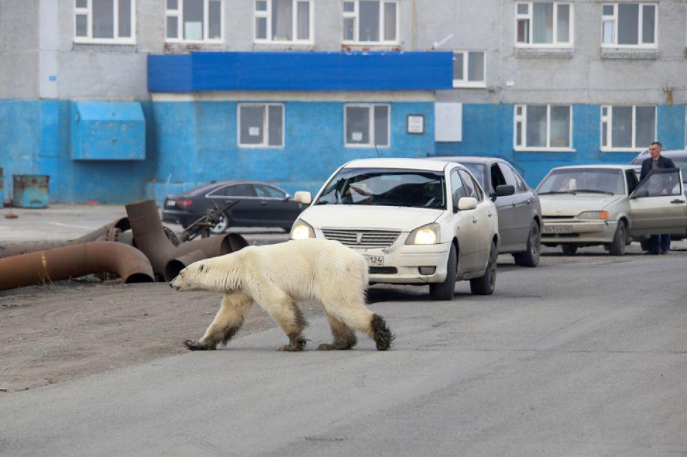 Белый медведь на улицах Норильска.