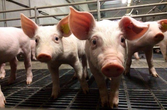 После запуска Первоманского свинокомплекса удастся повысить производство охлажденного мяса в 3,14 раза