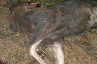 Во время расследования эксперты установили, что животное ранили в голову, брюхо и грудь. От ранений лосиха скончалась.