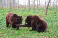 Куда звонить и как себя вести, если встретился с медведем?