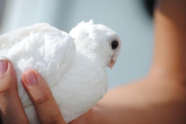 Домашний голубь привык доверять человеку.