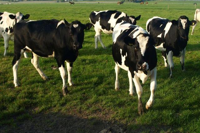 Коровы не в курсе, что от них теперь зависит судьба посёлка.