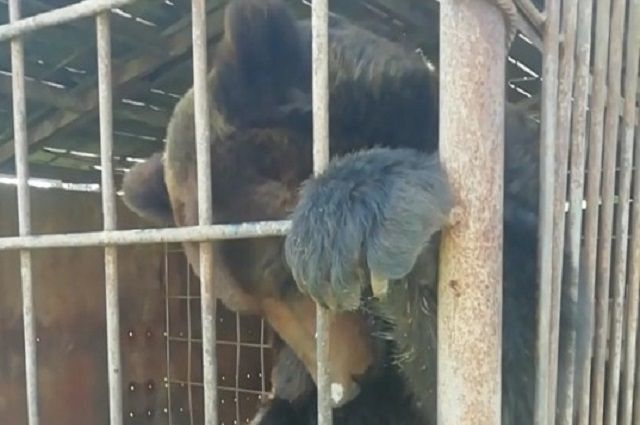 Нынешние хозяева готовы продать медведя, но цену установили для нас неподъёмную – 150 тысяч рублей. Сами мы не сможем её собрать