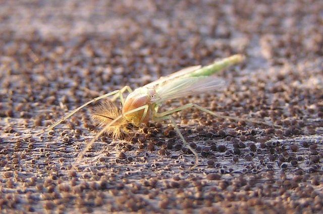 Надымчане наблюдают аномальное нашествие комаров-звонцов