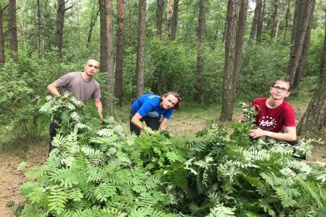 На Куршской косе московские студенты вяжут веники и плетут ограждения