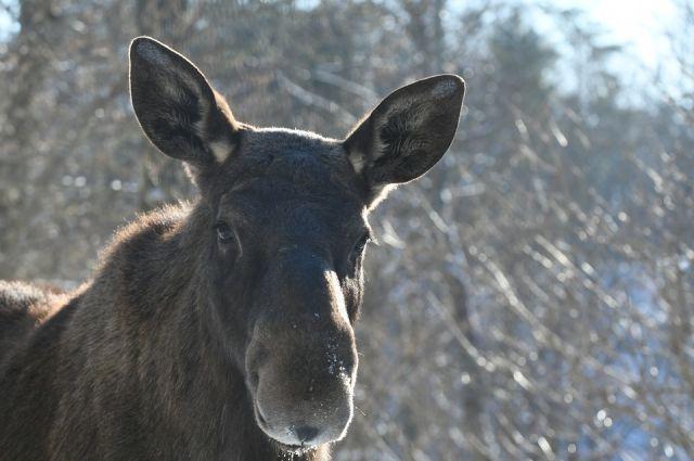 Второй охотник, действуя независимо от первого, выстрелом из охотничьего карабина в область брюшины добил раненное животное.