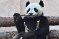 Большая панда, переданная Китаем Московскому зоопарку.