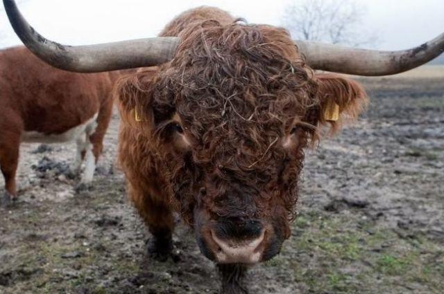 В Тюменской области мошенники наживаются на «продаже» породистых быков
