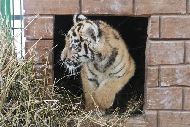 В Бузулуке тигрица напала на мужчину, который пытался украсть тигренка
