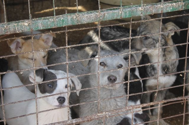 Тобольский депутат извинился за конфликт с приютом для бездомных собак
