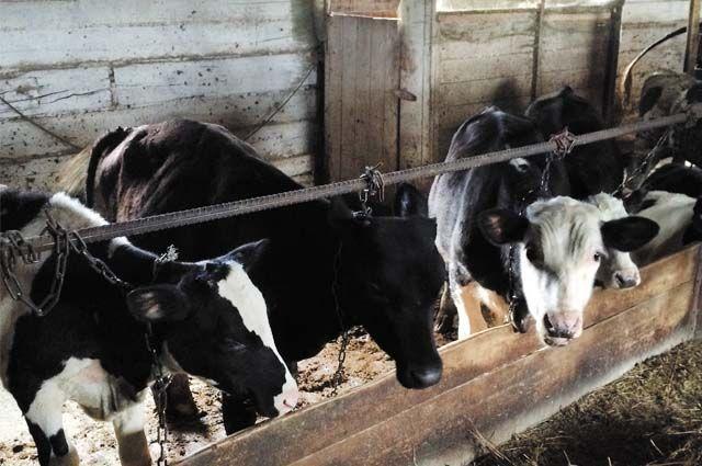 На ферме Мокрушиных тридцать голов стада обслуживают три человека.