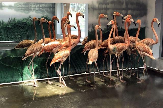 Группа розовых фламинго живет в Новосибирском зоопарке с апреля этого года.
