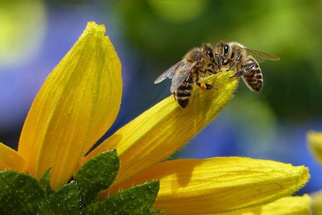 Пестицидами обычно отравляются рабочие пчелы, которые собирают с цветков растений нектар и пыльцу и приносят их в улей.