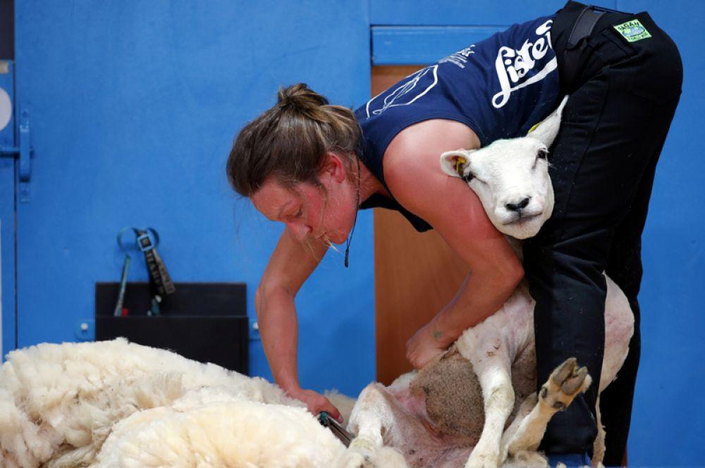 Чемпионат мира по стрижке овец в Ле Дора, Франция.