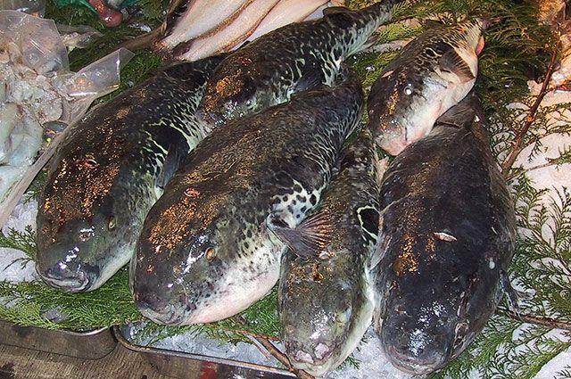 Рыба Фугу.